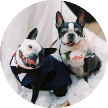 photo of two little bulldogs dressed up for a wedding, one in a tuxedo making a goofy face and the other with a large flower arrangement around its neck looking formally at the camera